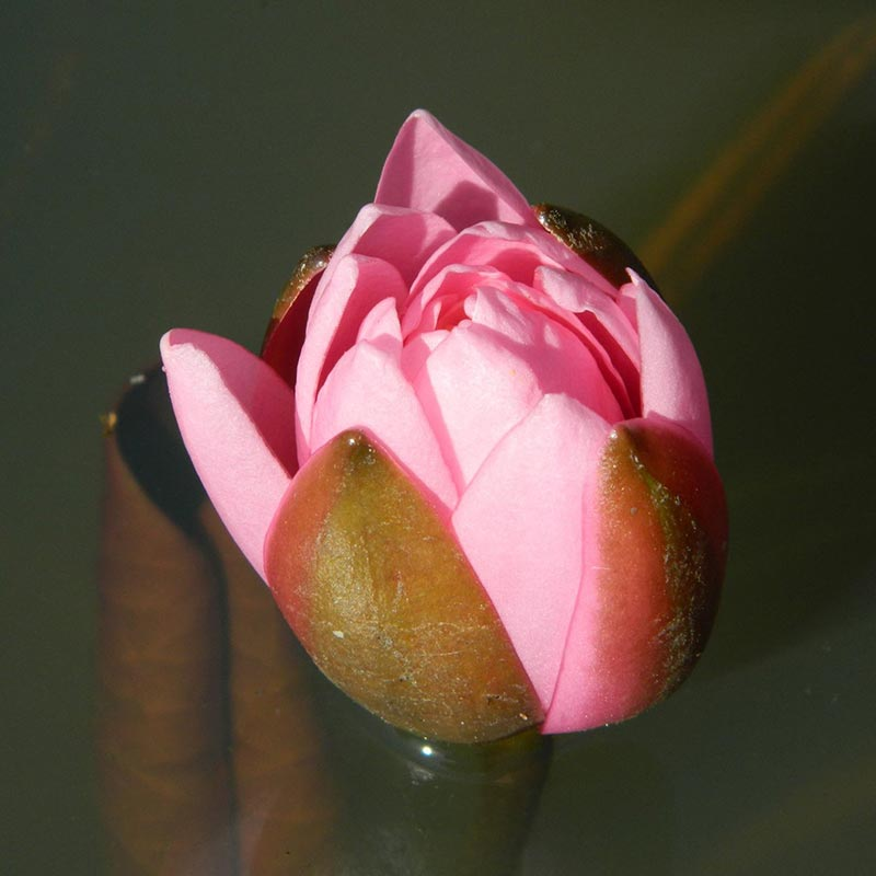 photo de fleur de nénuphar rose