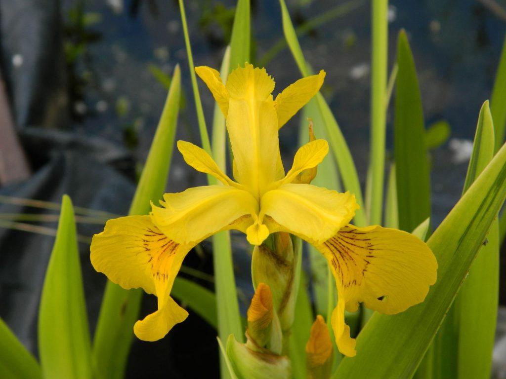fleur d'un iris pseudoacorus variegata